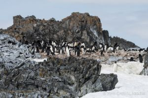 The Adelie Penguin Colony in Our Backyard