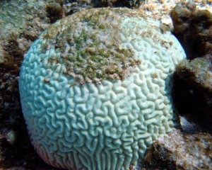 Bleached brain coral (Credit: NOAA)