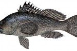 Black_sea_bass