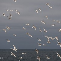 Flight of Antarctic petrels