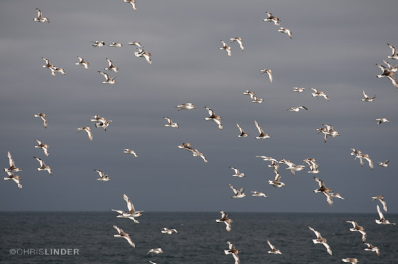 Flight of Antarctic petrels