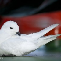 Snow petrel on deck