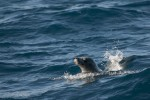 Seal in search of krill