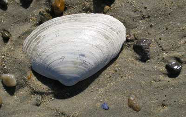 surfclam-on-beach